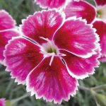 dianthus-caryophyllus-flutterburst_Florensis