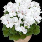 Pelargonium grandiflorum Aristo White