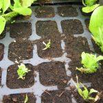 Rozsada sałaty zniszczona przez ślimaki