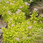 Spiraea japonica ZEN'SPIRIT GOLD, fot. KVBC
