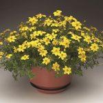 Bidens ferulifolia Solaire L Horizon_Syngenta Flowers