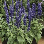 Salvia farinacea Velocity Blue_Syngenta Flowers