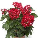 Pentas lanceolata Starcluster Red_Syngenta Flowers