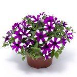Petunia ×hybrida Shortcake Blueberry_Syngenta Flowers