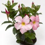 Mandevilla RioAppleblossom_Syngenta Flowers
