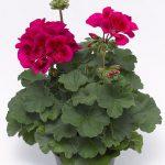 Pelargonium Mojo Cranberry Splash_Syngenta Flowers
