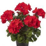 Pelargonium Mojo Scarlet_Syngenta Flowers