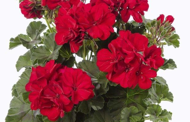 Wśród nowości firmy Syngenta Flowers na najbliższy sezon znajdują się ciemnolistne odmiany pelargonii (tu: Calliope® M Dark Red Dark leaf), fot. Syngenta Flowers