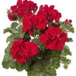Pelargonium Calliope M Dark Red Dark leaf_Syngenta Flowers