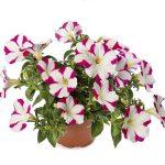 Petunia ×hybrida Sanguna Star Pink_Syngenta Flowers