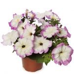 Petunia ×hybrida Fun House Vintage Lilac_Syngenta Flowers
