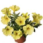 Petunia ×hybrida Sanguna Banana Candy Imp._Syngenta Flowers