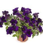 Petunia Aurora Deep Blue_Syngenta Flowers