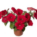 Petunia Sanguna Red Improved_Syngenta Flowers