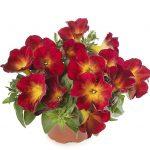 Petunia Fun House Ruby Glow_Syngenta Flowers