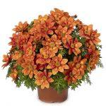 Bidens ferulifolia Brazen Glowing Sky_Syngenta Flowers