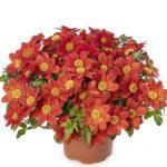 Bidens ferulifolia Brazen Rising Sun_Syngenta Flowers