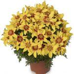 Bidens ferulifolia Brazen Eternal Flame_Syngenta Flowers