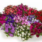 Petunie FlashForward _Syngenta Flowers