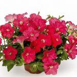 Petunia FlashForward Coral_Syngenta Flowers