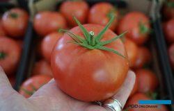 Ciekawe odmiany pomidora malinowego w testach uprawowych – prezentacja w Łaszkowie