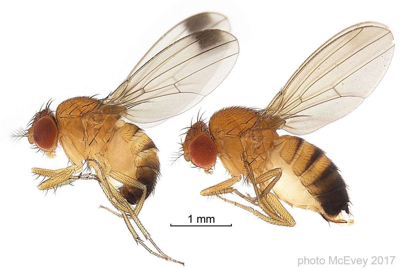 owady Drosophila suzukii