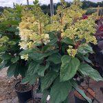 Hydrangea paniculata PETITE™ LANTERN 'LISSJUDY_Konkurs Roślin NOWOŚCI 2021