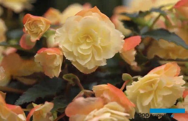 Begonię I'CONIA Aroma Peach, atrakcyjnych kwiatach, które lekko pchną, i półzwieszającym się pokroju wyróżniono w tym roku nagrodą FleuroStar,