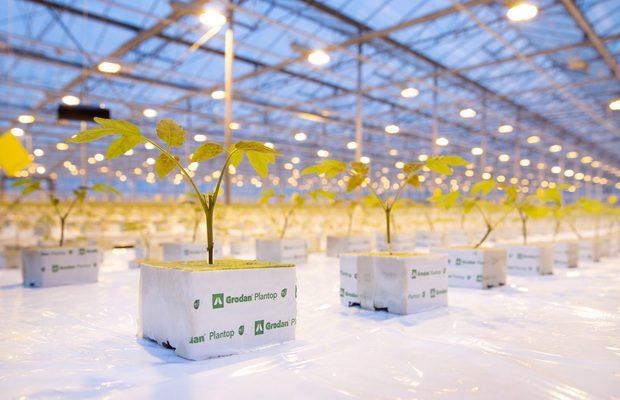 Produkcja rozsady pomidorów szczepionych dwupędowych w kostakach Grodan Plantop NG2.0