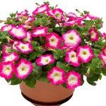 Petunia FotoFinish Rose Morn_Syngenta Flowers