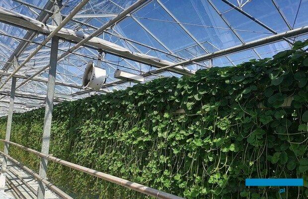 Produkcja sadzonek truskawek w szklarni w Bogucicach