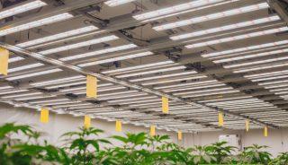 Uprawa medycznej marihuany pod lampami LED z firmy Plantalux