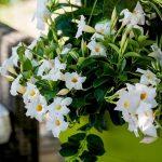 Dipladenia_Mandevilla_Diamantina® Jade 'White'