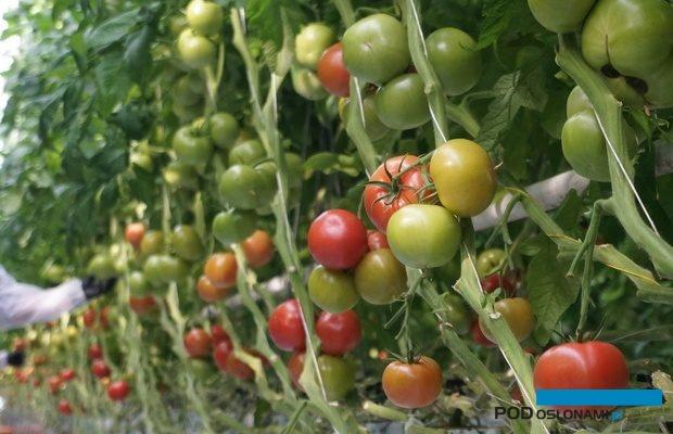 Pomidor malinowy Buenarosa w uprawie w Głuchowie