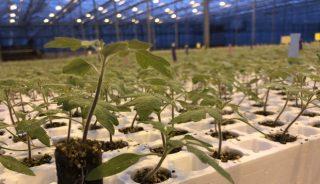 Siewki pomidorów we wczesnej fazie wzrostu