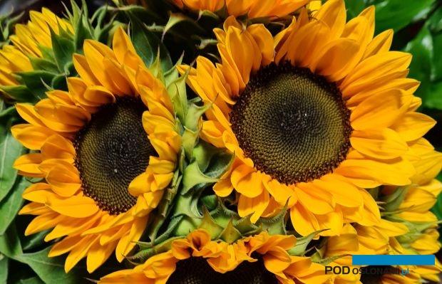 Słonecznik zwyczajny Helianthus annuus