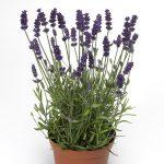 Lavandula angustifolia Aromatico Blue Compact
