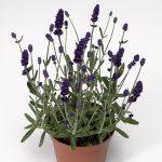 Lavandula angustifolia Aromatico Blue IMP