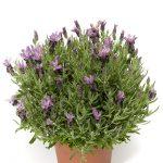 Lavandula stoechas Violeta Purple XL