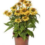 Echinacea Prairie Blaze Golden Yellow, fot. Syngenta Flowers