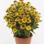 Helenium ×hybridum Hayday Golden Bicolor