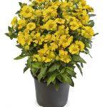 Helenium ×hybridum Hayday Yellow, fot. Syngenta Flowers