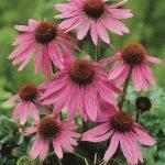 Echinacea purpurea Prairie Splendor Deep Rose