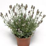 Lavandula angustifolia Vintro Pearl