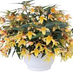 Begonia-boliviensis-Groovy-Mellow-Yellow_