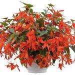 Begonia-boliviensis-Groovy-Orange