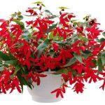 Begonia-boliviensis-Groovy-Red_