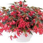 Begonia-boliviensis-Groovy-Rose_