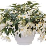 Begonia-boliviensis-Groovy-White_