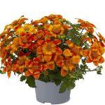 Bidens-ferulifolia-Bee-Happy-Orange_
